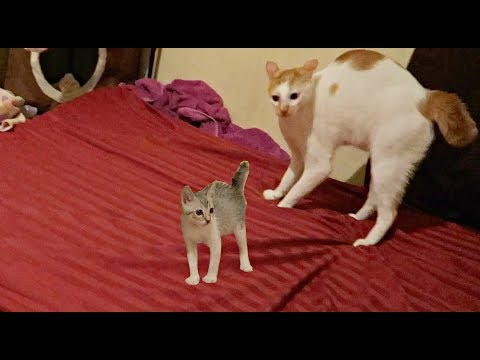 ✰Real Life 'TOM & JERRY' Kitten CHASING Big Brother CAT 😂