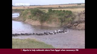 The Spectacular Wildebeest Migration