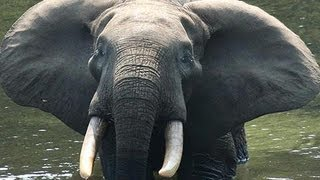 アフリカ中部で象牙の密猟が急増