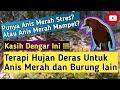 Terapi Hujan Deras Untuk Anis Merah Dan Burung Lain Suara Burung Plus  Mp3 - Mp4 Download