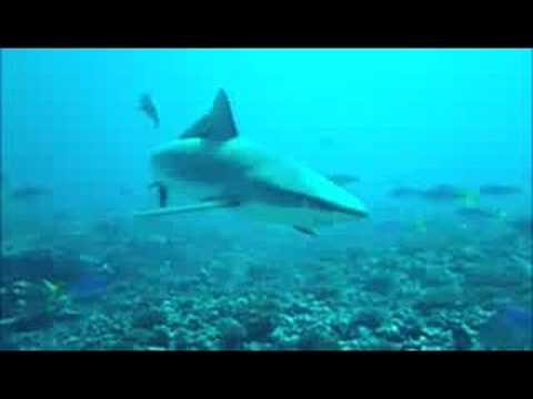Gray Sharks at Palmyra Atoll