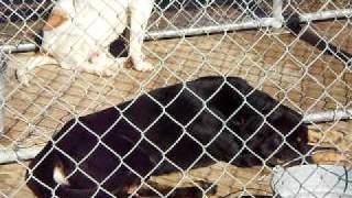 Pender County Animal Shelter - Rottweiler/shepard Mix