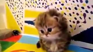 Персидские котята. Мимими!