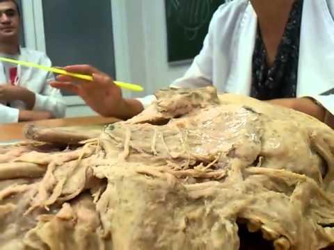 Анатомия Нервы шейное сплетение
