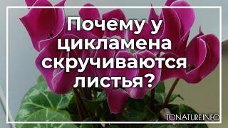 Почему у цикламена скручиваются листья? | toNature.Info