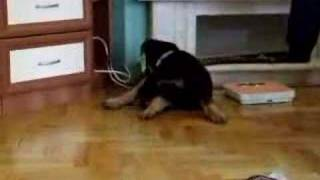 That's Why You Have To Cut Rottweiler's Tail