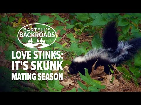 Skunk mating season signals the start of an annual nightmare for homeowners