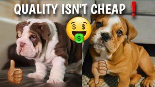 Don't Be CHEAP When Buying A English Bulldog