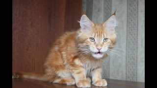 ЛИРИКУМ Прохвост, котенок мейн-кун 3 мес, вес 2,5 кг