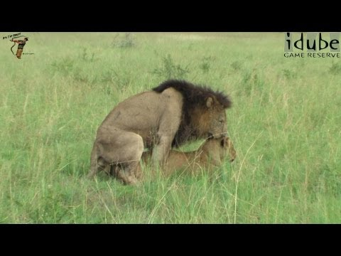 WILDlife: Horny Lion Roadblock? from YouTube · Duration:  35 seconds