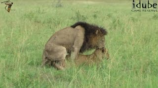 WILDlife: African Big Cats: Mating Lions