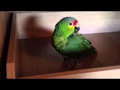 Amazon parrot happy