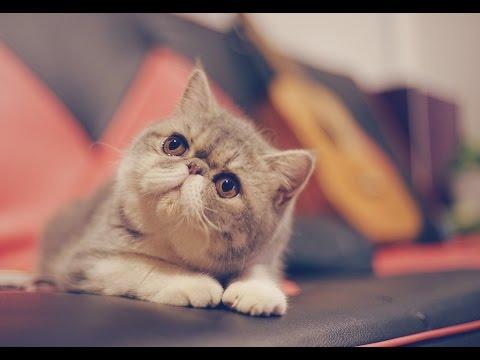 Cute Fat Exotic Shorthair Cat Kitten - Bao