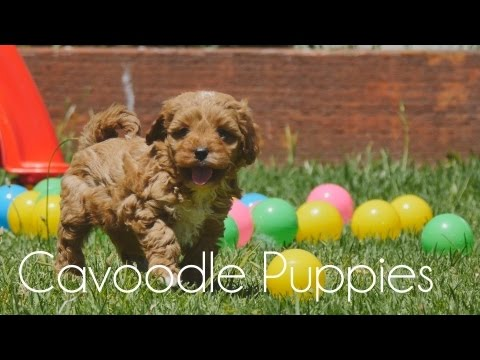 Cavoodle puppies playing with each other!!