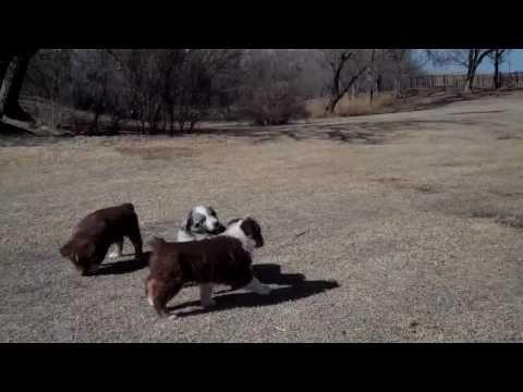 AKC Australian Shepherd Puppies Video 2
