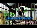 Jalak Suren Garuda Suren Kalimantan  Mp3 - Mp4 Download