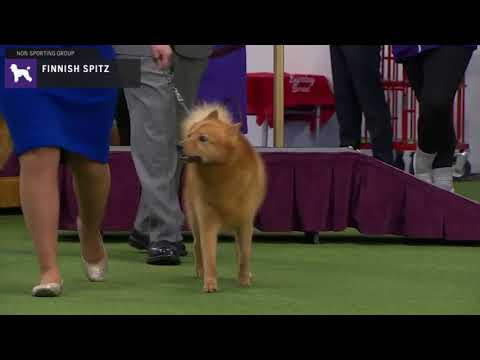 Finnish Spitz | Breed Judging 2020