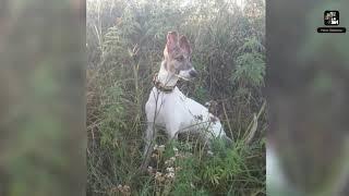 Greyhound Dog breed top