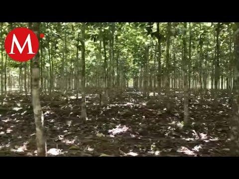 Plantación de árboles Teca | Conexión Milenio