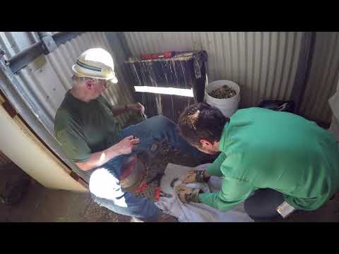 Raw footage of peregrine falcon banding