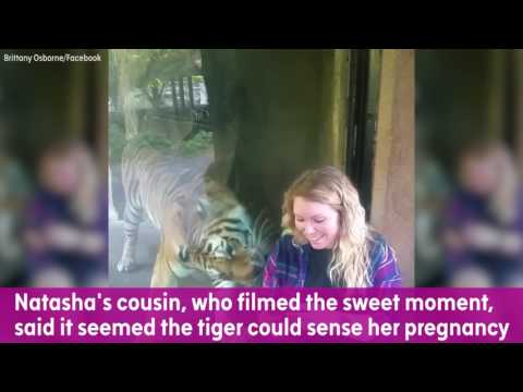 Download Youtube: Tiger snuggles up to zoo visitor's baby bump