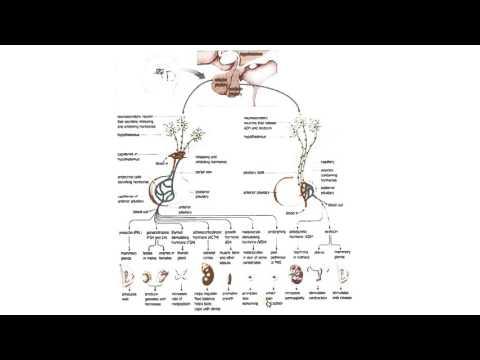Биология в картинках: Гипоталамо-гипофизарная система (Вып. 21)