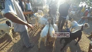 Download Video Informasi pasaran harga kambing jemoko 1,4jutaan - Pasar Kambing Terbesar jawa tengah pati MP3 3GP MP4