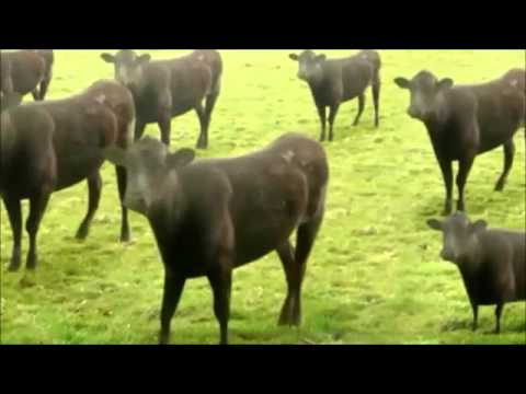 cow dance in nepali song