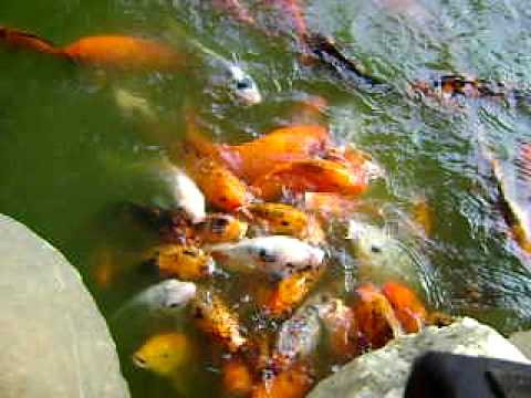 Koi fishes at nirvana garden powai mumbai india youtube for Koi pond india
