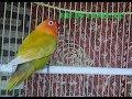 Lovebird Memanggil Lawan Pancingan Super Mantap Bikin Labet Bunyi Bersahutan Sahutan  Mp3 - Mp4 Download