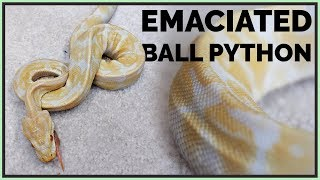 skinniest-ball-python-i-ve-seen-how-will-we-help-it
