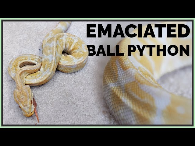 Skinniest Ball Python I've Seen - How Will We Help it?