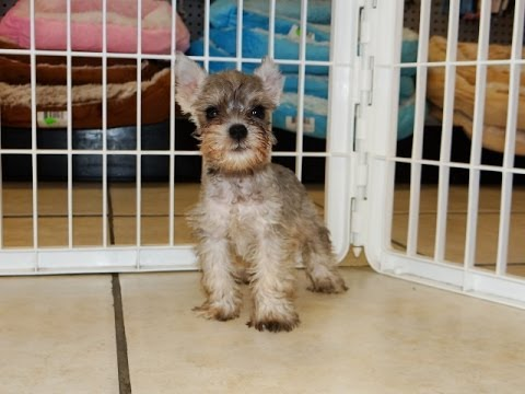 Miniature Schnauzer, Puppies, Dogs, For Sale, In Birmingham, Alabama, AL, 19Breeders, Huntsville