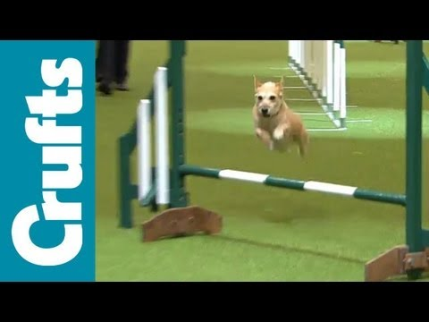 Crufts Semi-Final Small Breed Agility Team Contest  | Crufts 2012