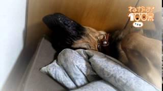 ワンちゃんの寝顔だけをひたすら紹介していく企画! 今回はジャーマン・...