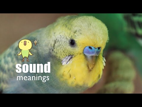 🔈 Budgie Sound Meanings