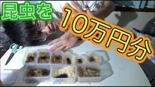 10万円分のクワガタを飼いました!!