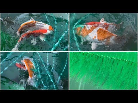 My Koi Breeding Project - Part 30 - Kujaku Spawning - Part 2