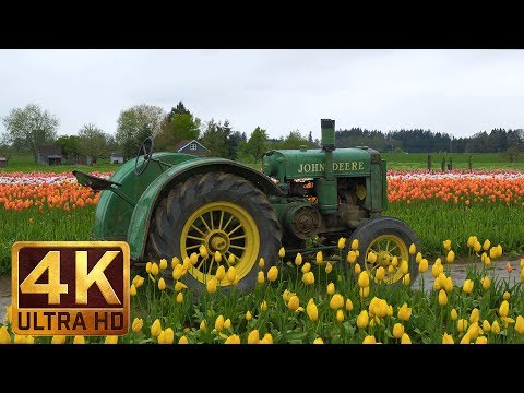 2 Hour Relax with Tulip Flowers in 4K + Music - Wooden Shoe Tulip Festival in Oregon. Part 1