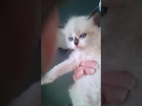 Shae's kittens 5 weeks old ragdoll