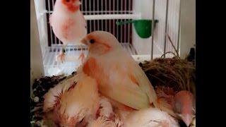 مشروع تربية طيور  الكناري وكيفية الإنتاج منها بكل سهولة -معاذ-