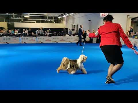 Euro Dog Show 2018 Tibetan Terrier Champion females (part 3 of 4)