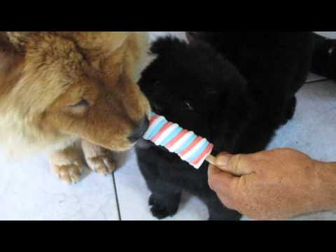 Adorable Chow Chow Dogs Enjoy a Popsicle