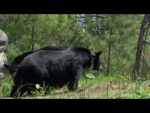Intimate Black Bear Mating Scene | BBC Earth