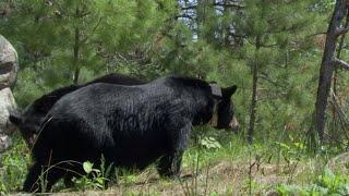 Intimate Black Bear Mating Scene | BBC Earth