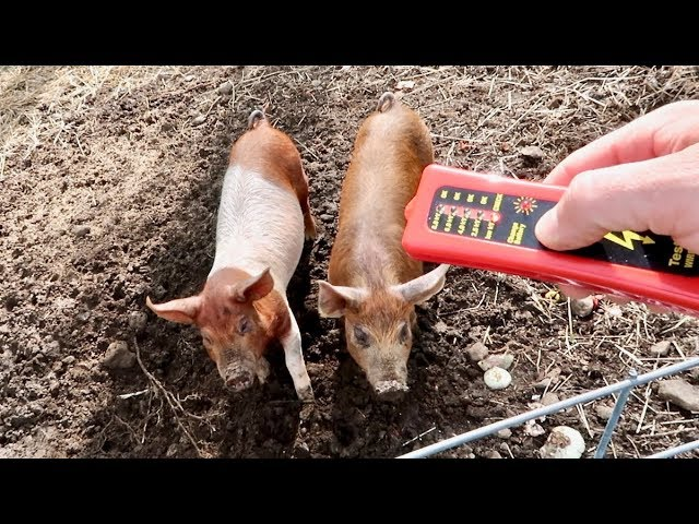 I Hate this PART about RAISING Pigs! But its Necessary
