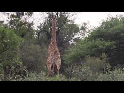 Giraffe hunting video South Africa with Mkulu Hunting Safaris