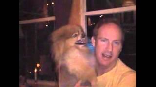 Pomeranian For Adoption-funny!
