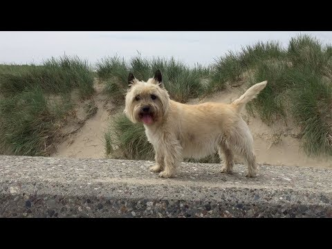 Why To Get A Cairn Terrier As A Pet