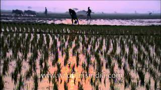 Rice plantation in west Bengal